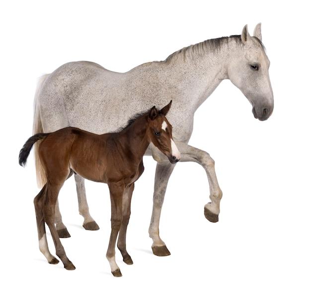 Égua e seu potro em pé na frente de fundo branco
