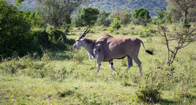 Elands, o maior antílope da savana do quênia