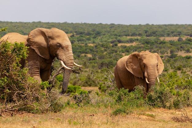 Elefante adulto e bebê elefante caminhando juntos