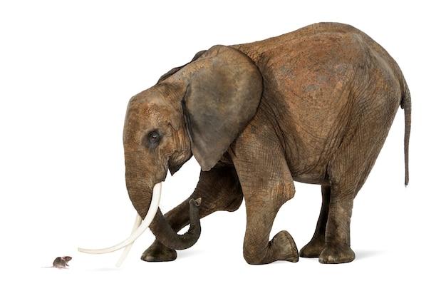 Elefante africano ajoelhado na frente de um mouse, isolado no branco