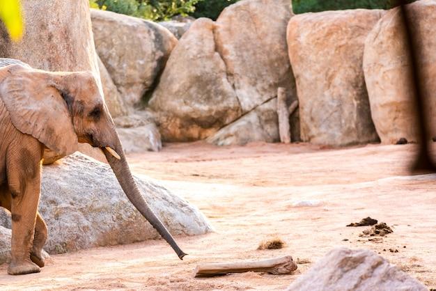 Elefante africano andando através de um zoológico e sorrindo.