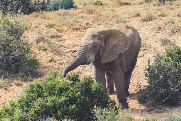 Elefante africano andando em arbustos do parque nacional addo, áfrica do sul