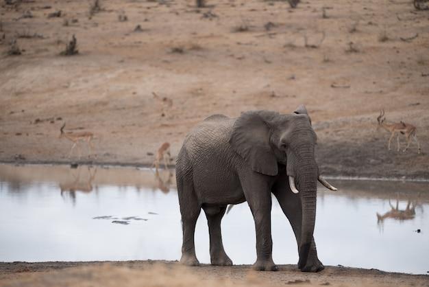 Elefante africano caminhando na margem do lago