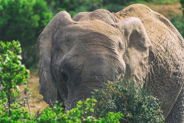 Elefante africano, comer, em, arbustos, cima, vista, em, addo national park, áfrica sul