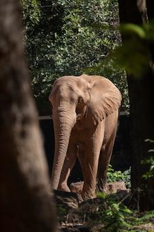 Elefante africano, em, jardim zoológico