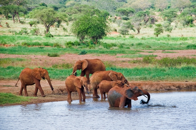 Elefante africano macho enorme