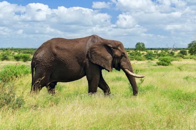 Elefante africano na savana, parque nacional de kruger, áfrica do sul