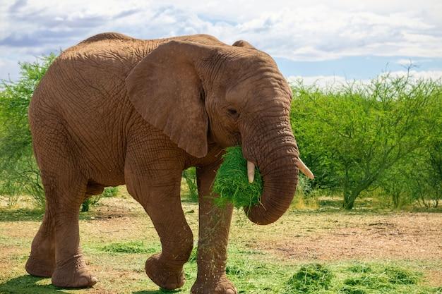Elefante africano nas pastagens do parque nacional de etosha, namíbia.
