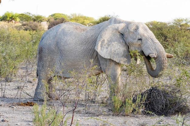 Elefante africano que come a árvore da acácia no parque nacional de etosha, namíbia.