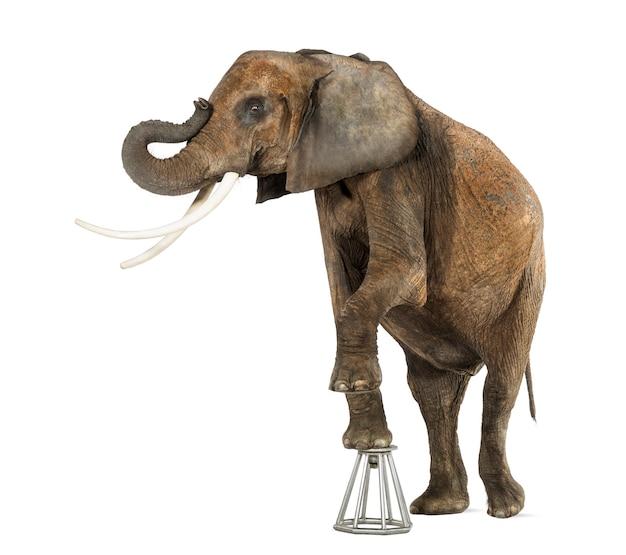 Elefante africano, realizando, levantando-se em um banquinho, isolado no branco