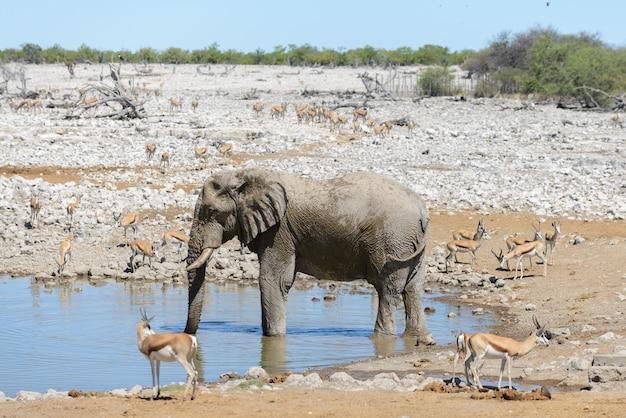Elefante africano selvagem no poço na savana