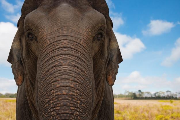 Elefante asiático em estado selvagem