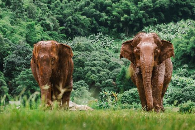 Elefante asiático em uma natureza na floresta profunda na tailândia