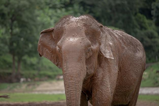 Elefante asiático em uma natureza no parque natural do elefante, chiang mai. tailândia