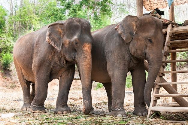 Elefante asiático na tailândia