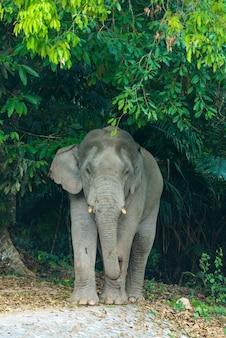 Elefante asiático no parque nacional de khao yai. tailândia