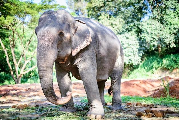 Elefante asiático no parque natural, chiang mai, tailândia