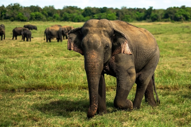 Elefante asiático pequeno