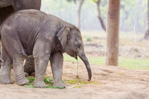 Elefante bebê no parque nacional chitvan, nepal