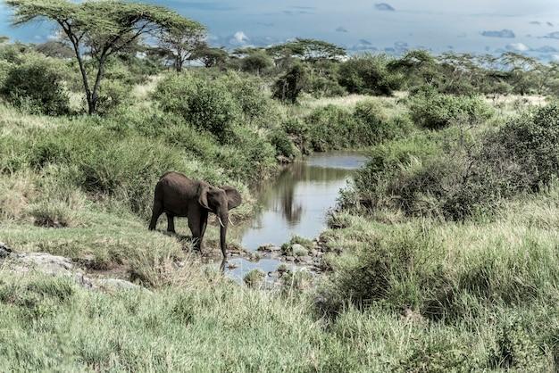 Elefante bebendo no curso de água do parque nacional do serengeti