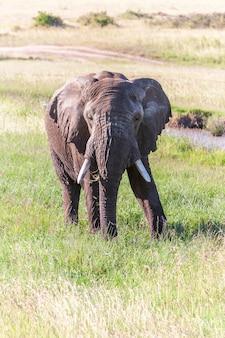 Elefante caminhando na savana