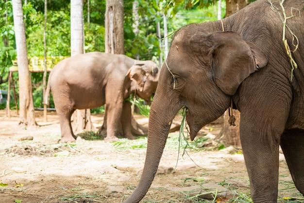 Elefante come grama no zoológico