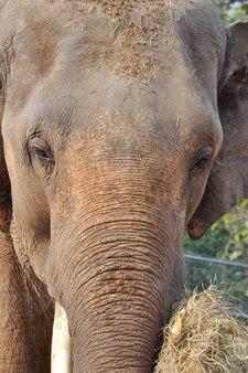 Elefante da ásia