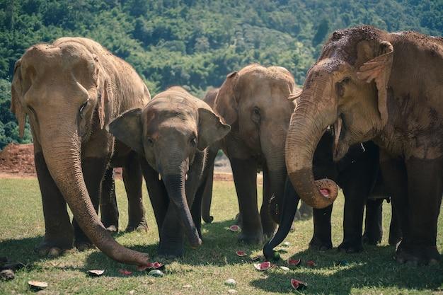 Elefante da natureza na floresta da tailândia