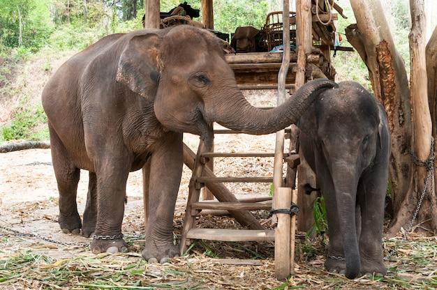 Elefante de mãe tailandesa e bezerro tailândia, elefante asiático