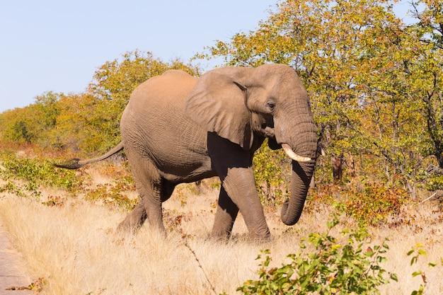 Elefante do parque nacional kruger, loxodonta africana