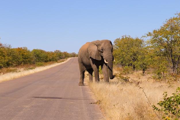 Elefante do parque nacional kruger, na áfrica do sul. vida selvagem africana. loxodonta africana