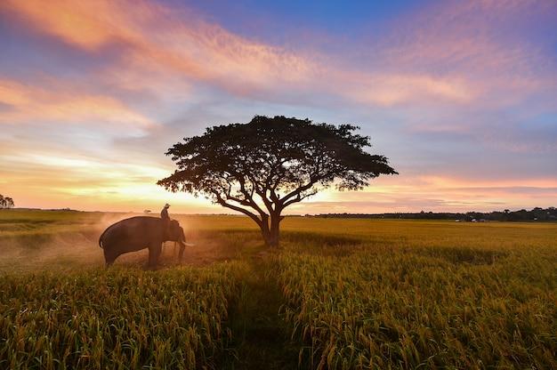 Elefante e homem natal em campo durante o nascer do sol, surin, tailândia