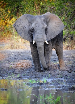 Elefante em estado selvagem, áfrica