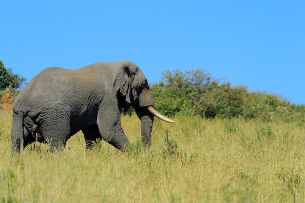 Elefante em estado selvagem - parque nacional do quênia, áfrica
