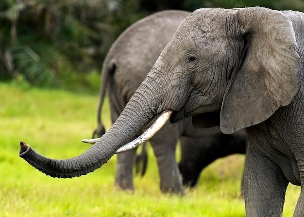 Elefante em seu habitat natural na savana africana