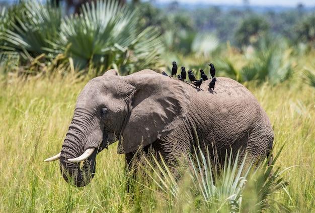 Elefante está caminhando na grama com um pássaro nas costas no parque nacional merchinson falls