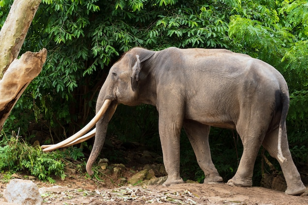 Elefante indiano na floresta.