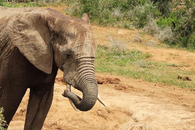 Elefante molhado e enlameado brincando em uma poça d'água na selva