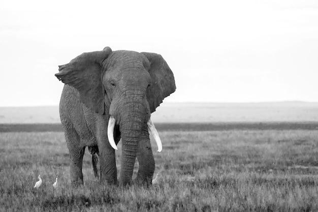 Elefante na savana de um parque nacional no quênia