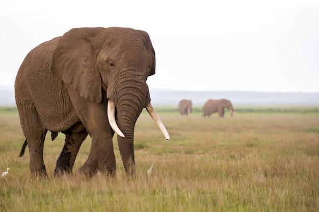 Elefante na savana do parque nacional