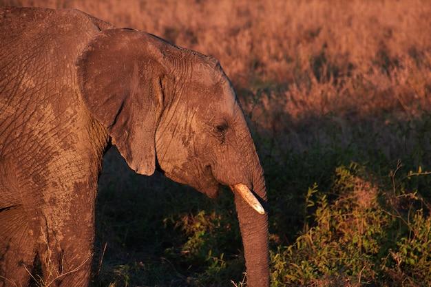 Elefante na savana no quênia e na tanzânia, áfrica