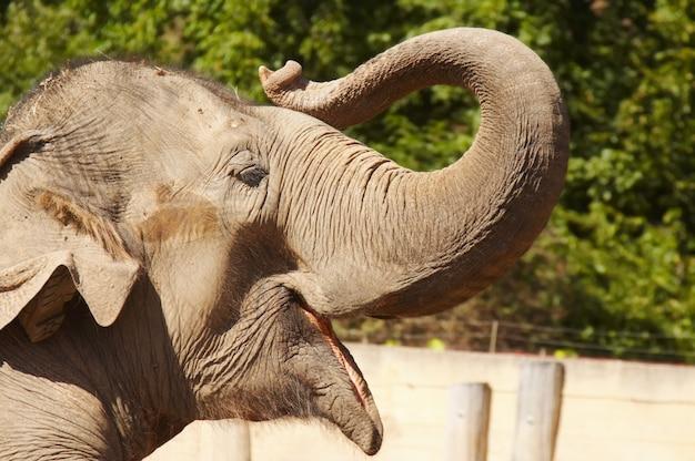Elefante pegando sua tromba