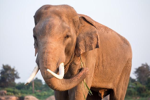 Elefante tailandês