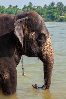 Elefante tomando banho no rio