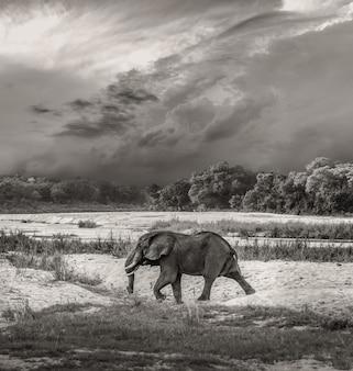 Elefante, touro