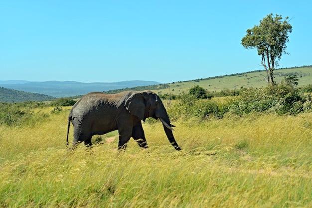 Elefantes africanos em seu habitat natural. quênia. áfrica.