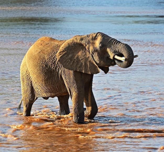 Elefantes africanos em seu habitat natural. quênia