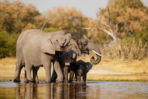 Elefantes africanos juntos na natureza