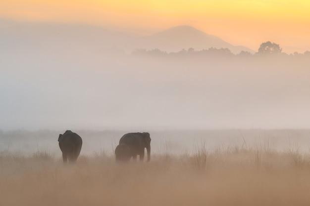 Elefantes asiáticos caminham no habitat natural durante os elefantes dourados do nascer do sol