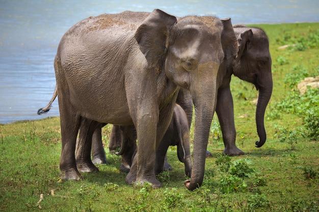 Elefantes asiáticos depois de regar.